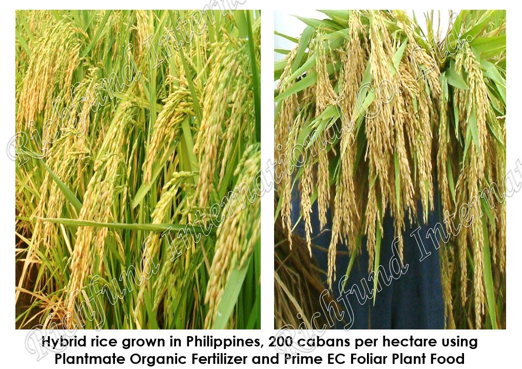 Best organic fertilizer in the Philippines Effective organic Fertilizer Seed germination Bacterial Chemically damage soil Rehabilitate Soil Pathogenic Bacteria El niño Drought Bacterial disease Making compost more potent Plantmate Organic Fertilizer Inter International Fertilizer International Organic Fertilizer PH Neutralization 5.5 pH Nuetral pH
